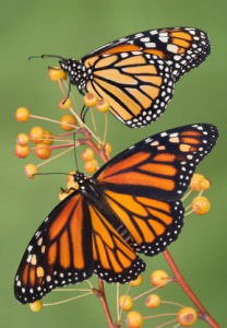 learn english with the news monarch butterfly migration